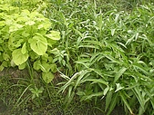 香草姐的快樂花園(過去式):2010062201.jpg