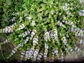 香草姐的快樂花園(現在式):沉寂好一陣子的蘭香草又重現江湖。
