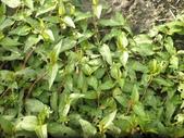香草姐的快樂花園(現在式):花園裡也有種了點香料植物,