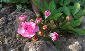 香草姐的快樂花園(現在式):每朵開出的玫瑰,