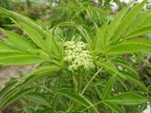 香草姐的快樂花園(現在式):斯里蘭卡接骨木也冒出花苞