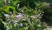 香草姐的快樂花園(現在式):同樣是紫色花的還有琉璃苣。