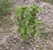 香草姐的快樂花園(過去式):這株水果鼠尾草當初也是很不漂亮的熟株。