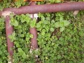 香草姐的快樂花園(過去式):薄荷到處亂竄,連旁邊的金屬欄都看到它!