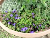 香草姐的快樂花園(現在式):週末到藍陽花園