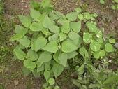 香草姐的快樂花園(過去式):看到這株水果鼠尾草長得這樣漂亮