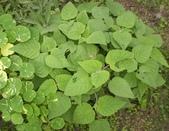 香草姐的快樂花園(過去式):水果鼠尾草越長越旺。