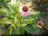 香草姐的快樂花園(現在式):今秋天氣不算穩定,花園目前還不算精采。