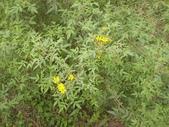 香草姐的快樂花園(過去式):芳香萬壽菊又要開花了。