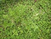 香草姐的快樂花園(過去式):枸杞與它下面的雜草似乎很搭。