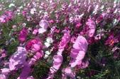 香草姐的快樂花園(現在式):暖陽下的亮麗玻斯菊