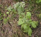 香草姐的快樂花園(過去式):這是今年看到的第一株開花琉璃苣。