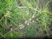 香草姐的快樂花園(現在式):益母草也在開花