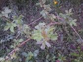 香草姐的快樂花園(過去式):刺五加生長的速度變快了。