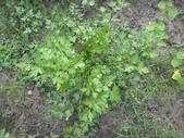 香草姐的快樂花園(過去式):義大利芹長得很漂亮!