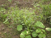 香草姐的快樂花園(過去式):甜菊一直在開花,每次來總要修剪花苞。