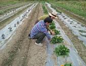 香草姐的快樂花園(現在式):霧峰青農這裡的金盞花越來越大