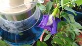 香草姐的快樂花園(現在式):最近蝶豆花似乎長得不錯,