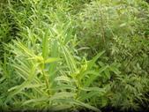 香草姐的快樂花園(現在式):即將開黃花的甜萬壽菊
