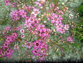香草姐的快樂花園(現在式):澳洲臘梅也在開花