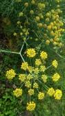 香草姐的快樂花園(現在式):今年茴香的花開得還算久