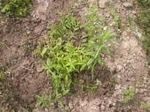 香草姐的快樂花園(過去式):新種的香草以這株檸檬馬鞭草長得最好!