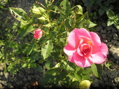 香草姐的快樂花園(現在式):天氣涼,玫瑰也慢慢冒出花苞
