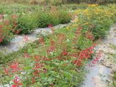 香草姐的快樂花園(現在式):鳳梨鼠尾草的紅花