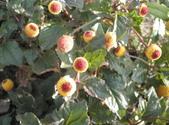 香草姐的快樂花園(現在式):六神草在我的花園