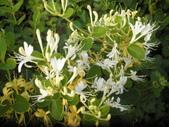 香草姐的快樂花園(現在式):這陣子喜歡採下新鮮金銀花