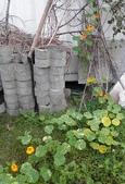 香草姐的快樂花園(過去式):金蓮花很頑皮,居然也爬上樹枝