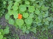 香草姐的快樂花園(過去式):金蓮花小寶寶開花了。