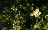香草姐的快樂花園(現在式):春天裡白花神也不缺席