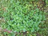 香草姐的快樂花園(過去式):之前都像游擊隊般出沒於花園的綠薄荷
