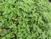 香草姐的快樂花園(現在式):油菊將謝幕