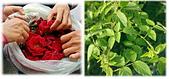貼文裡的圖片:紅花綠葉照fs.jpg