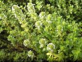 香草姐的快樂花園(現在式):鋪地香算是最長壽的百里香