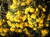 香草姐的快樂花園(現在式):阿里山油菊花開得比台灣油菊晚些