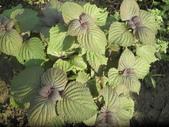 香草姐的快樂花園(現在式):紫蘇這陣子被蟲啃掉不少