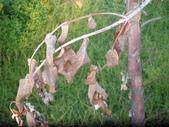 香草姐的快樂花園(現在式):上個月颱風前採收修剪的這株藍桉