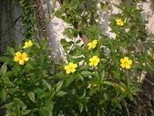 香草姐的快樂花園(過去式):今天改早上過來,終於看到大朵開著的金午時花