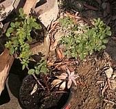 香草姐的快樂花園(過去式):2010011501.jpg