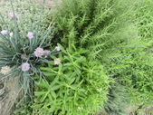 香草姐的快樂花園(現在式):迷迭香及細香蔥也很美
