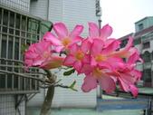 蝴蝶蘭,孤挺花,百合花:沙漠花1號.JPG