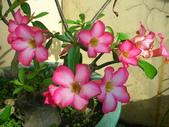 蝴蝶蘭,孤挺花,百合花:沙漠花2號.JPG