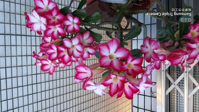 沙漠玫瑰花:20200505_173945.jpg