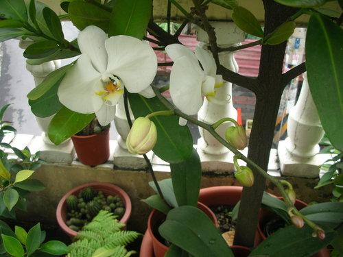蝴蝶蘭,孤挺花,百合花:想再種一株