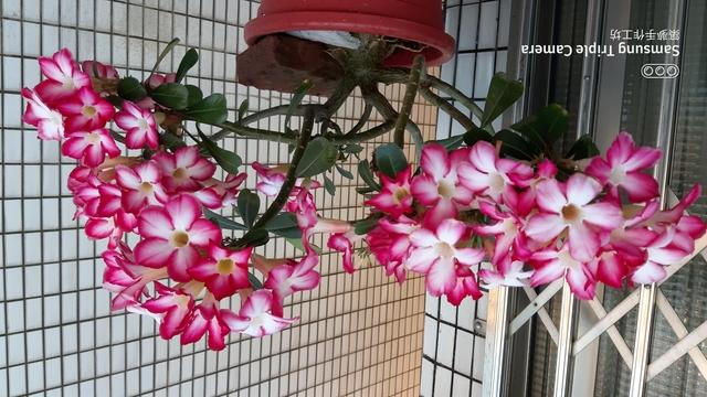 沙漠玫瑰花:20200505_173931.jpg