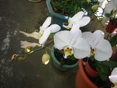 蝴蝶蘭,孤挺花,百合花:美極了.JPG