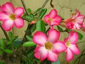 蝴蝶蘭,孤挺花,百合花:粉色美.JPG